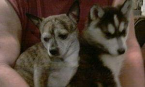chihuahua and husky puppy